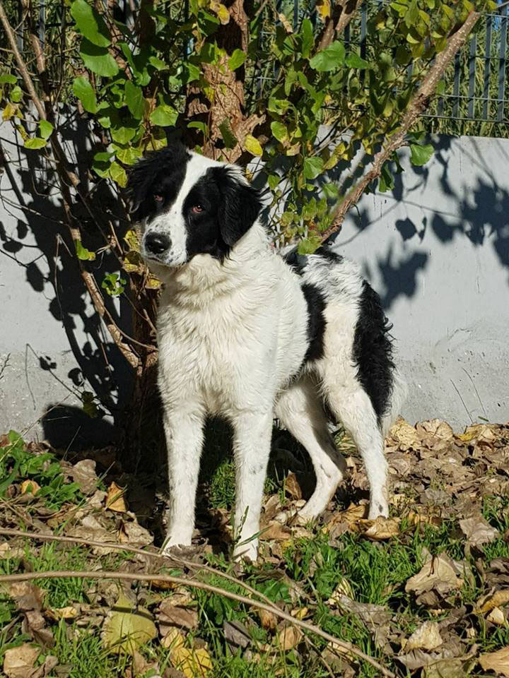 ADOTTATO Amy,deriv.border collie,canile...