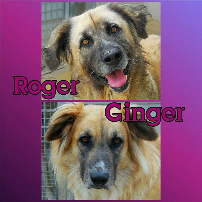 Ginger, canile Marconi